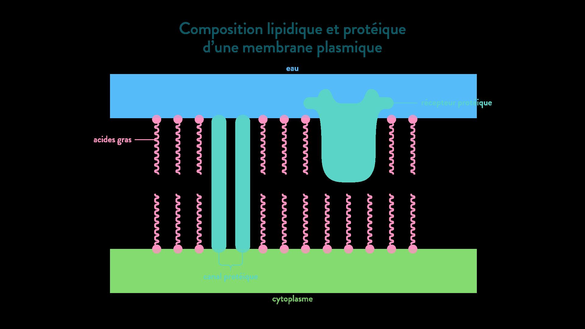 membrane plasmique composition protéines acides gras