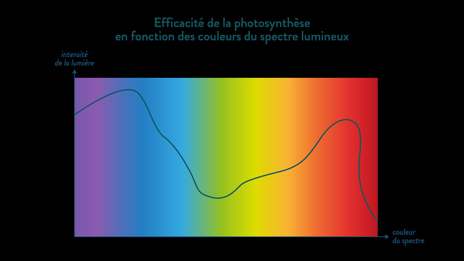 photosynthèse couleur efficacité rouge bleu