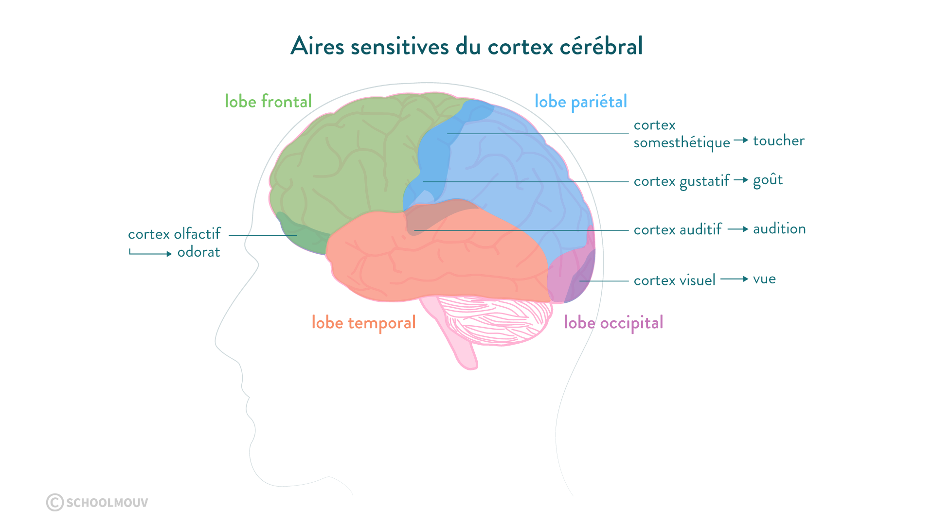 cortex cérébral audition aires sensitives lobe