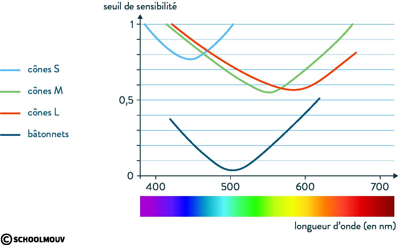 physique chimie première couleurs cônes bâtonnets seuil sensibilité