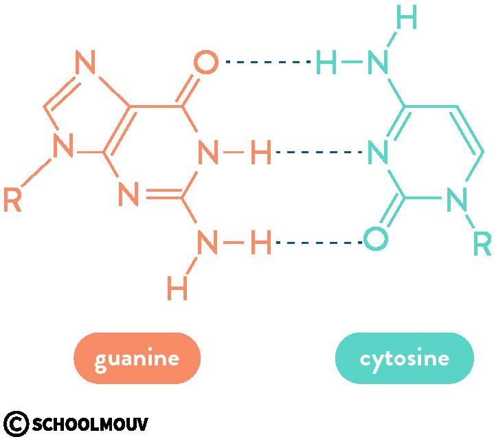 physique chimie première réforme cohésion matière liaisons hydrogène bases complémentaires ADN