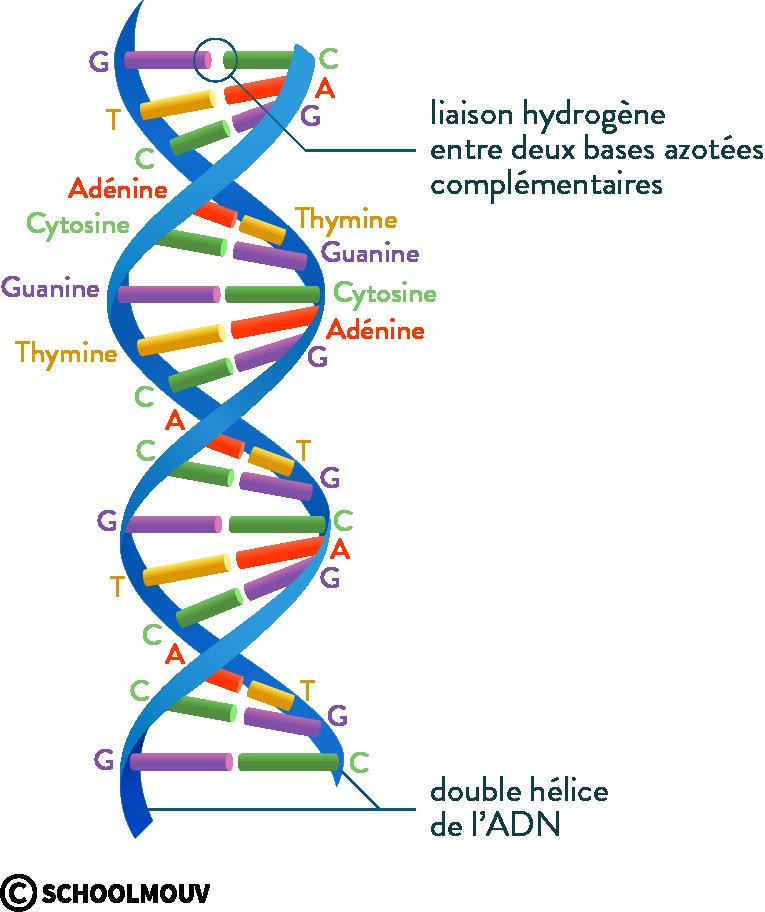 physique chimie première réforme cohésion matière ponts hydrogène bases complémentaires ADN