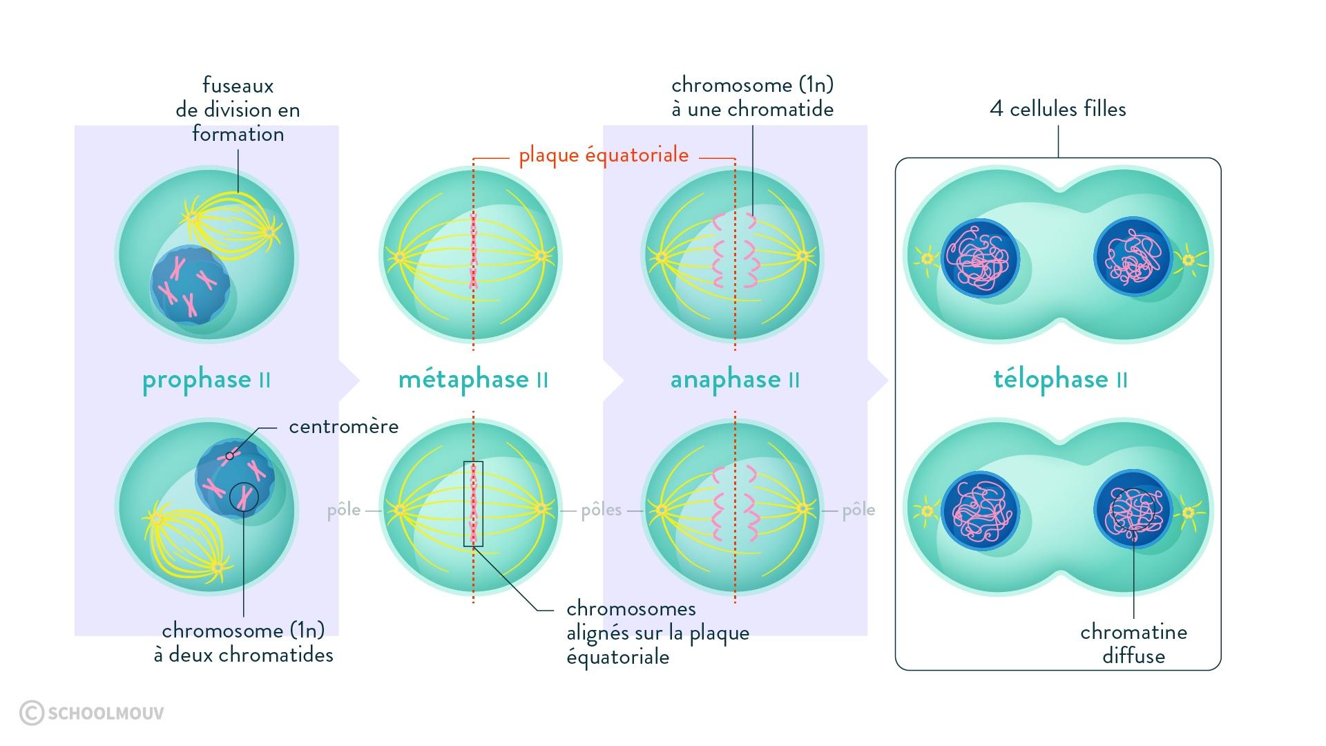 méiose cellule mère cellules filles