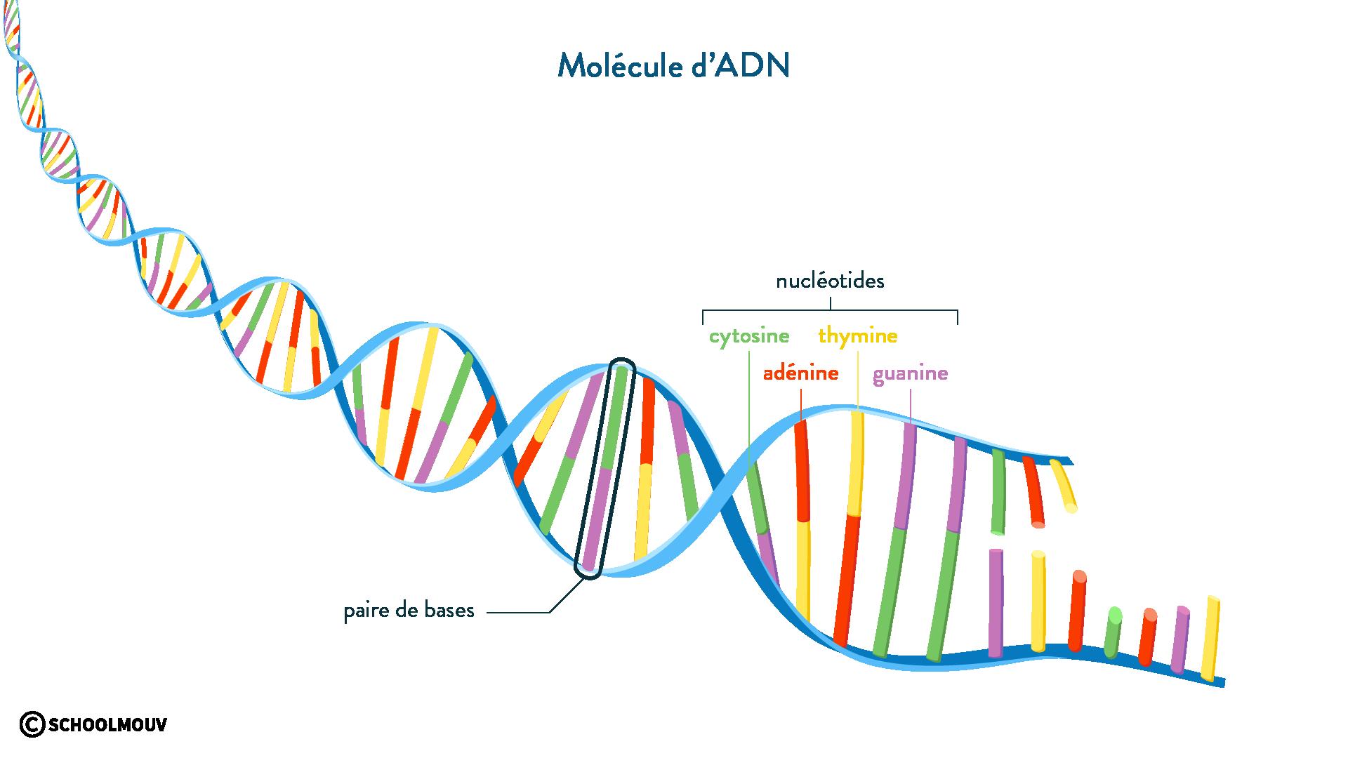 ADN nucléotides