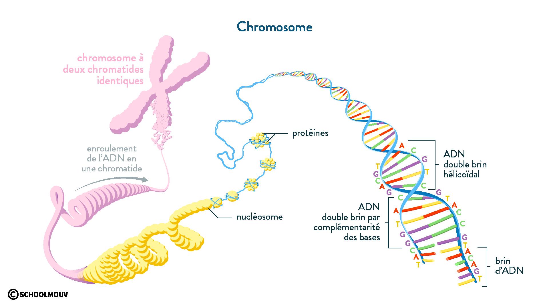 chromosome ADN double brin hélicoïdal chromatide nucléosome protéines