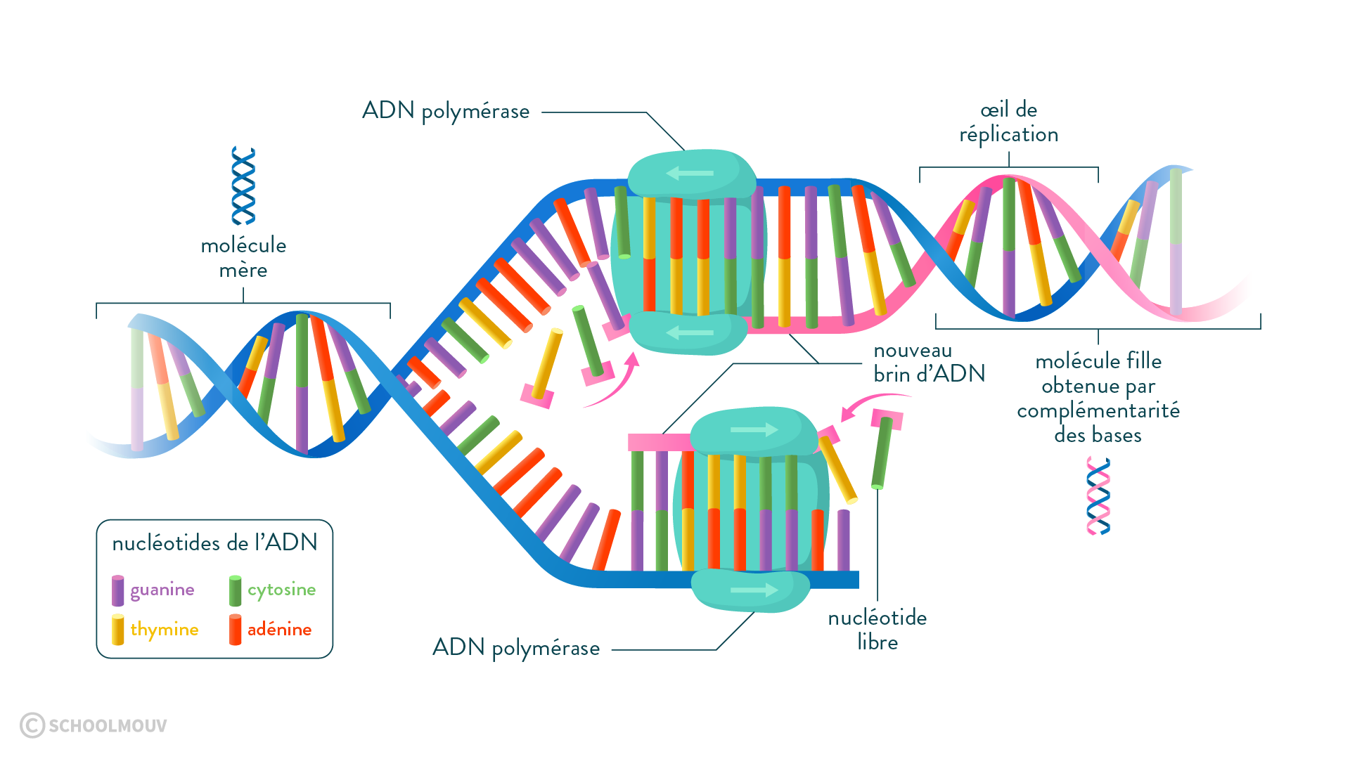 réplication ADN polymérase