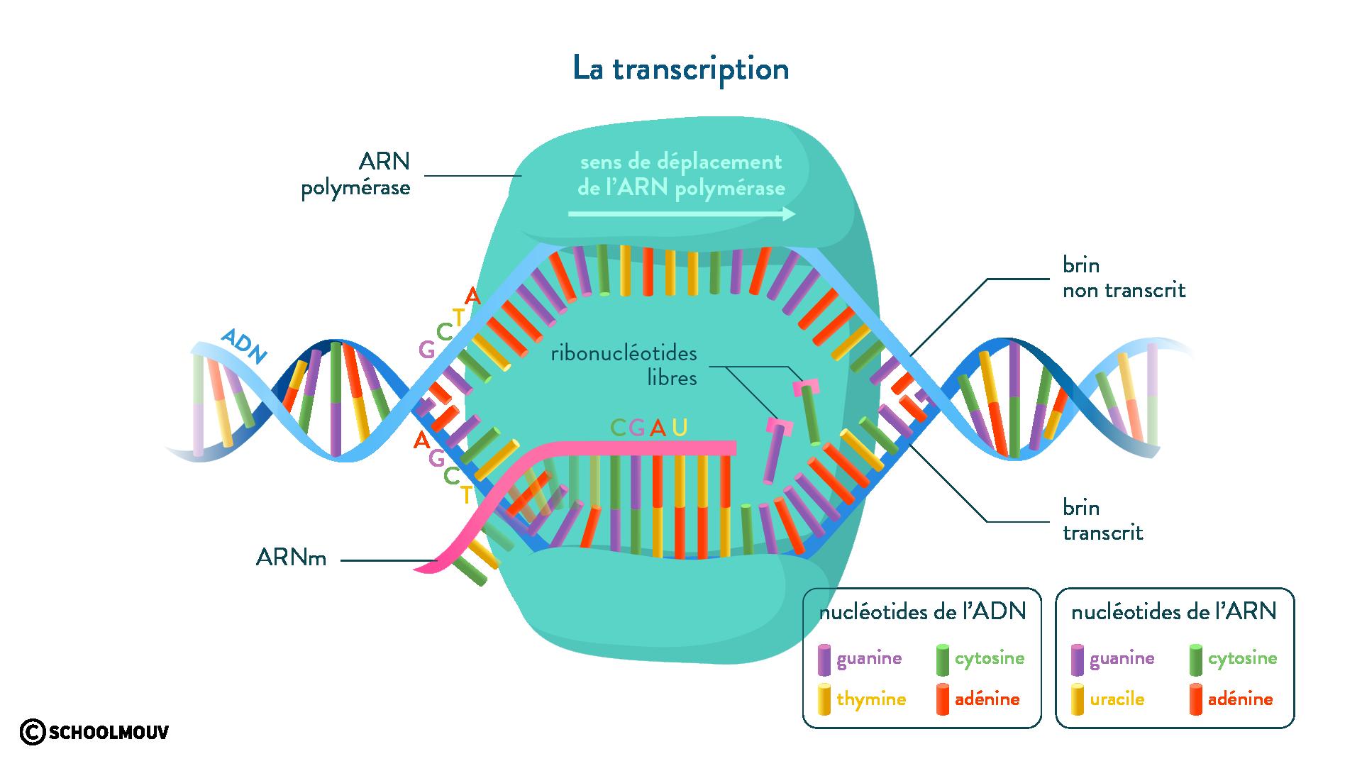 transcription ARN polymérase