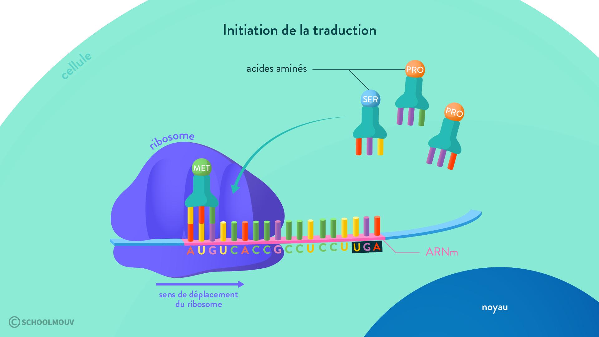 ribosome traduction acides aminés protéine