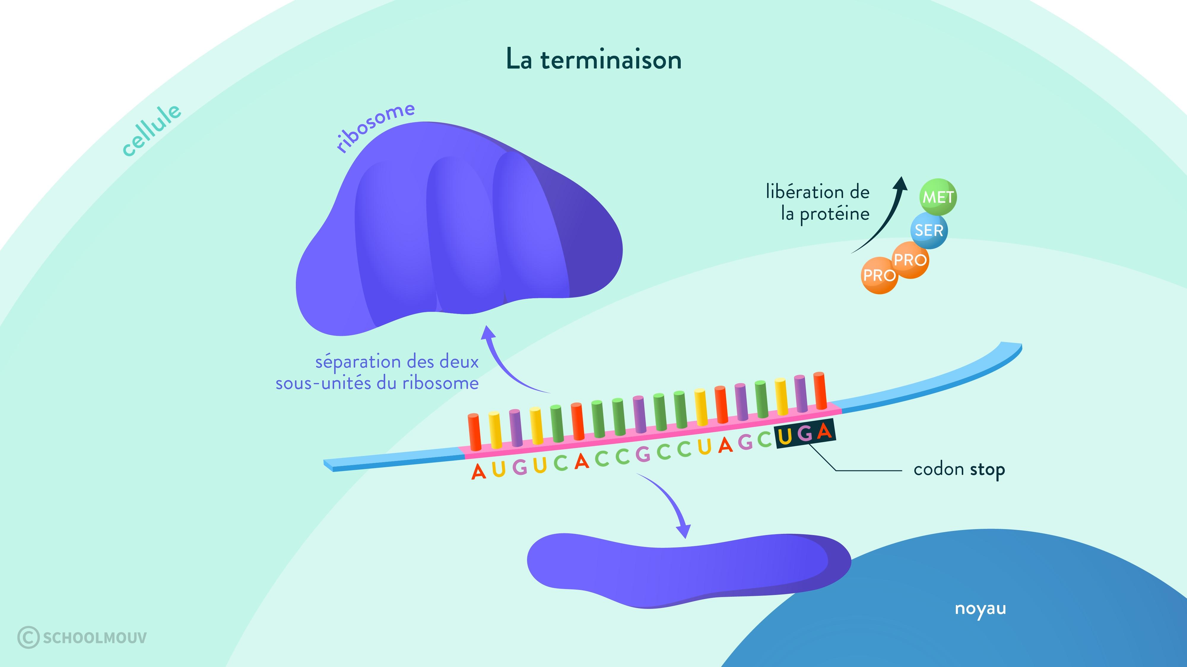 ribosome terminaison acides aminés protéine