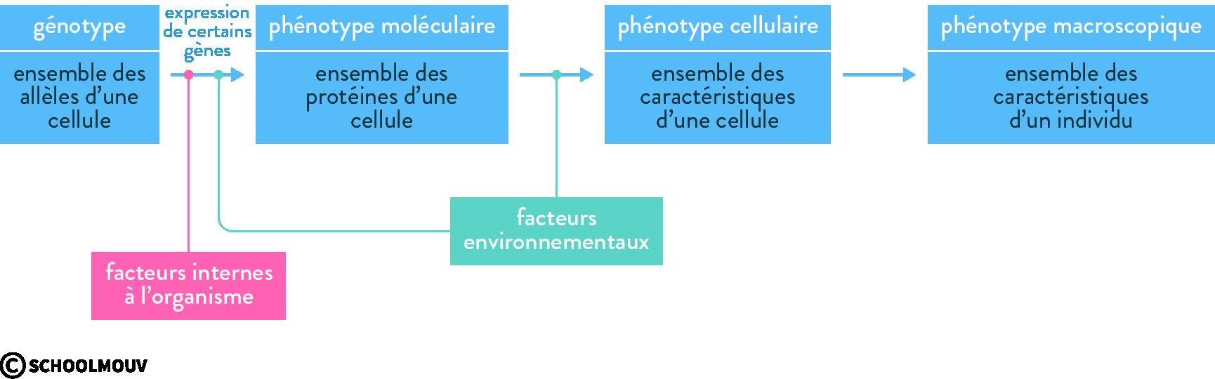 génotype phénotype