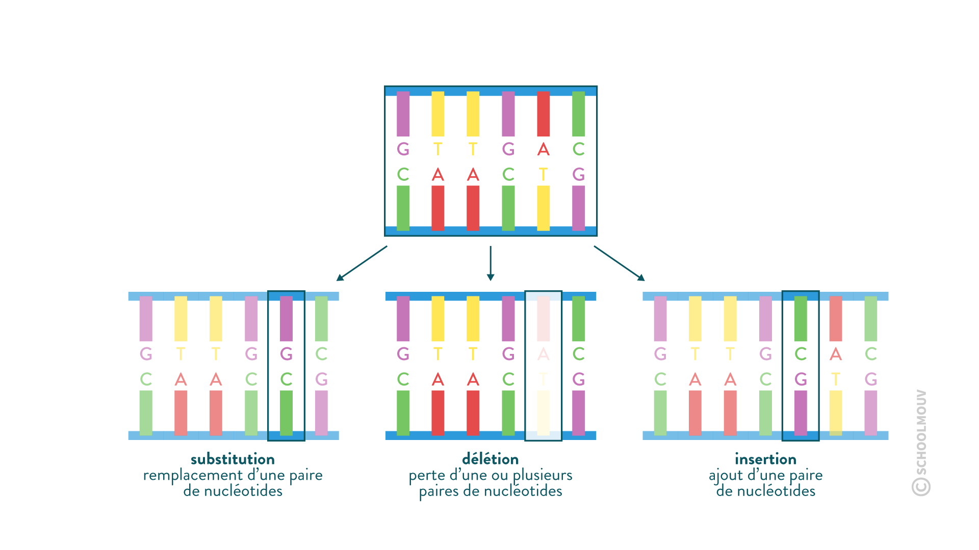 mutations ADN erreur réplication nucléotide délétion substitution insertion