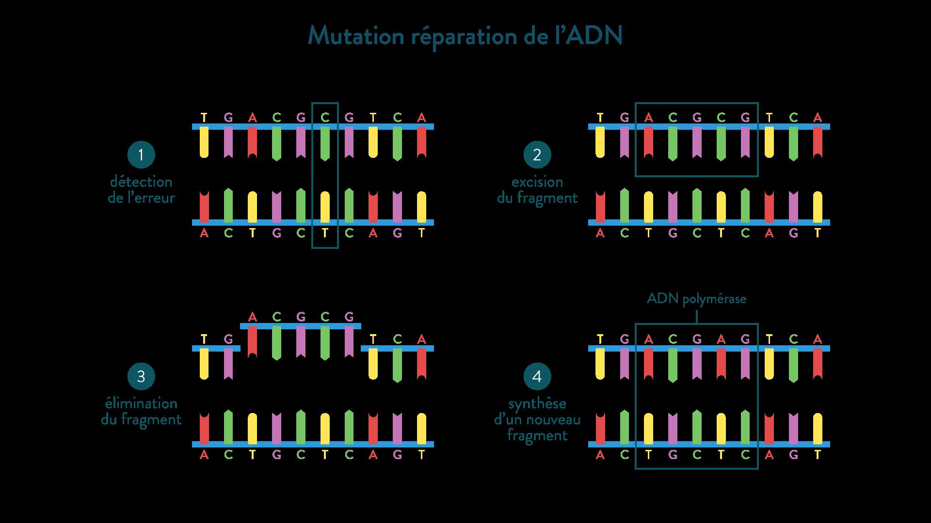 mutation réparation ADN ADN polymérase