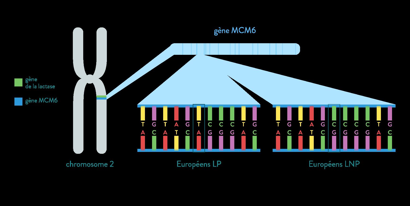 gène MCM6 intolérance lactose phénotype lactase