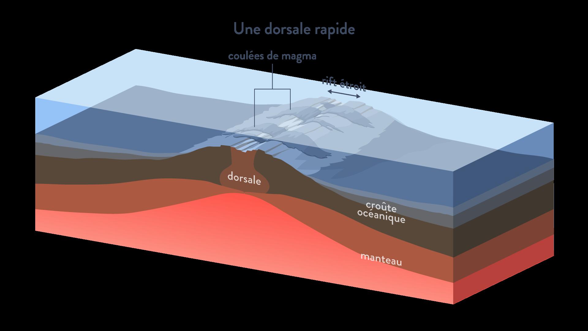 Dorsale rapide coulées de magma rift étroit divergence plaques tectoniques svt première