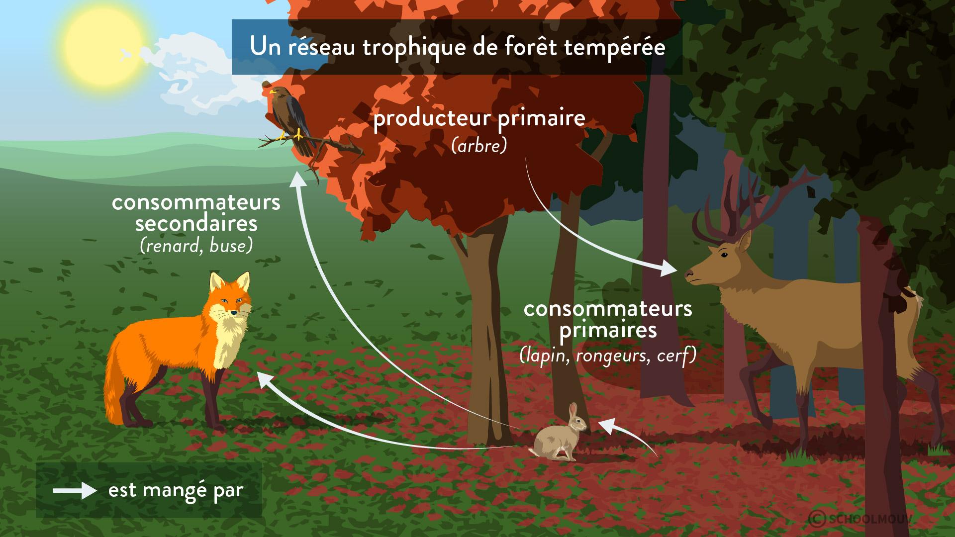 réseau trophique forêt tempérée écosystème producteur primaire consommateurs primaires secondaires interactions entre les êtres vivants svt première schoolmouv