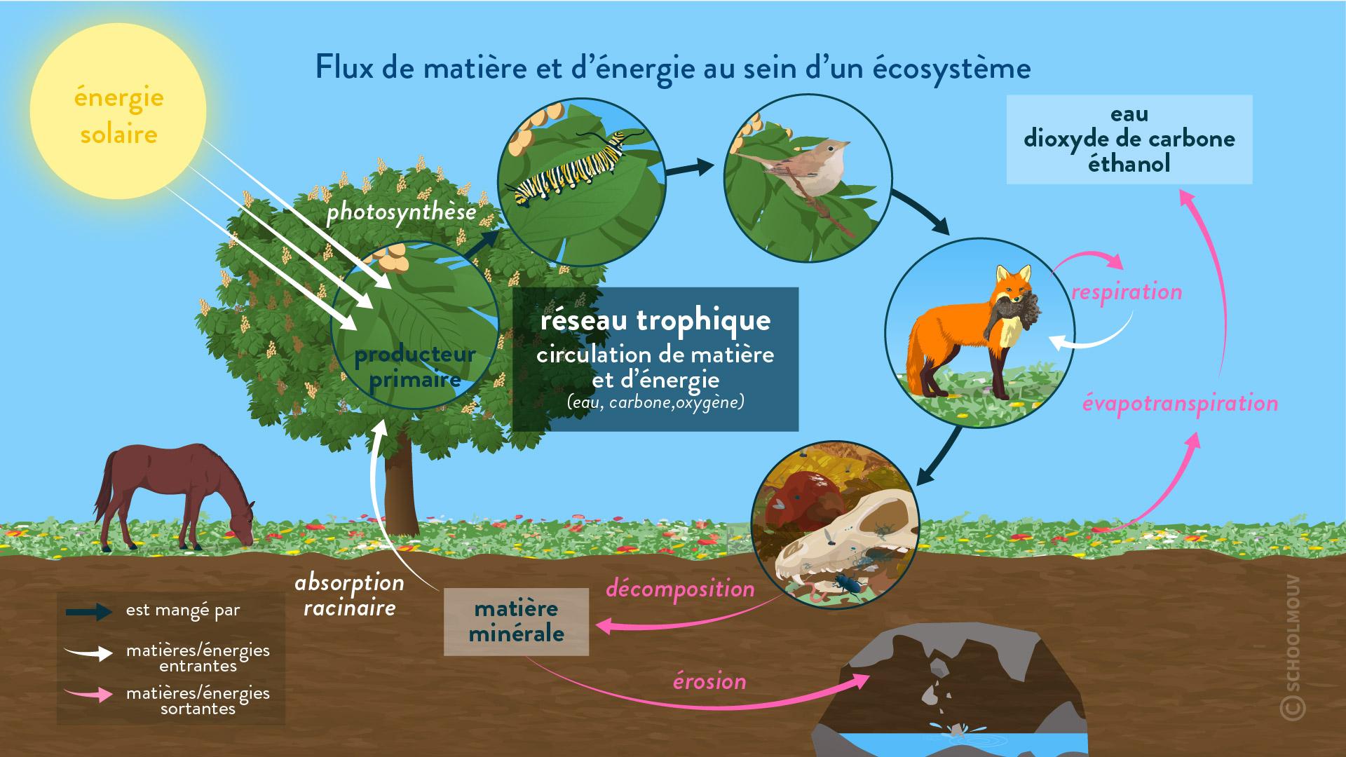 flux de matière et d'énergie au sein d'un écosystème énergie solaire producteur primaire réseau trophique respiration décomposition érosion évapotranspiration êtres vivants milieux interactions svt première schoolmouv