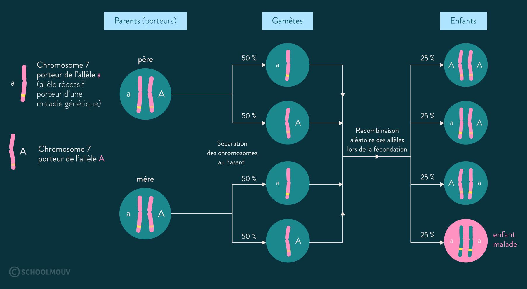 code génétique gène chromosome allèle