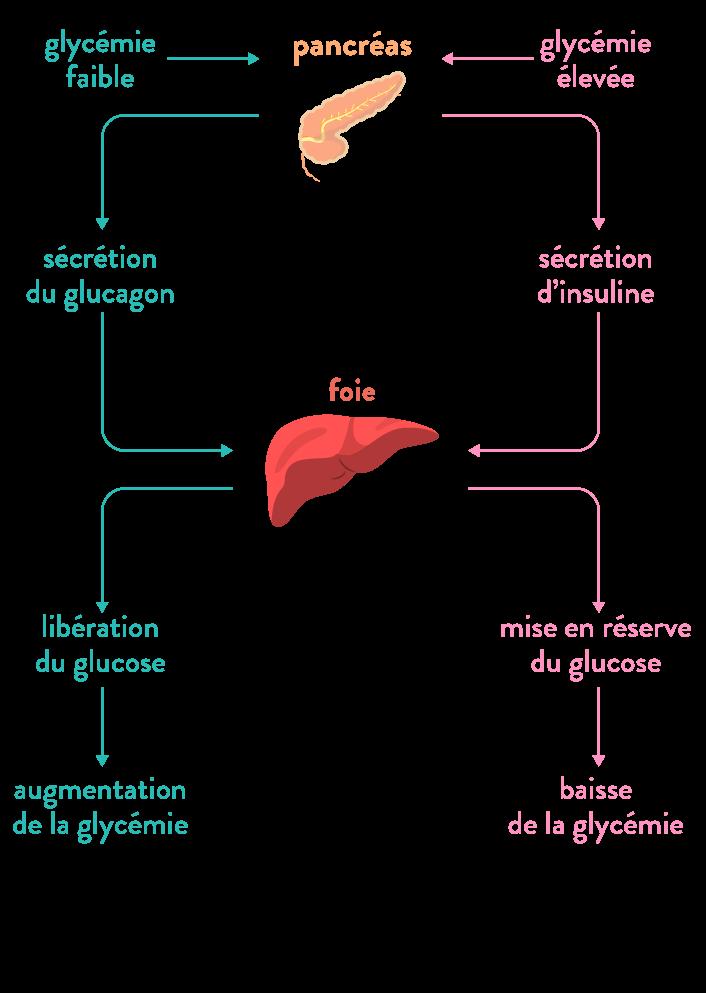 glycémie glucose régulation foie pancréas