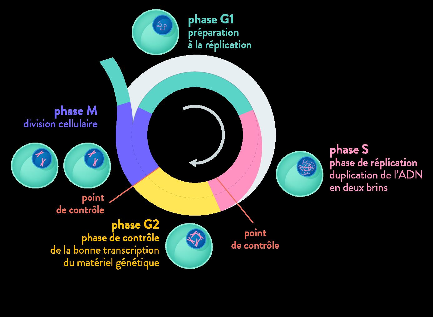 contrôle du cycle cellulaire point de contrôle apoptose