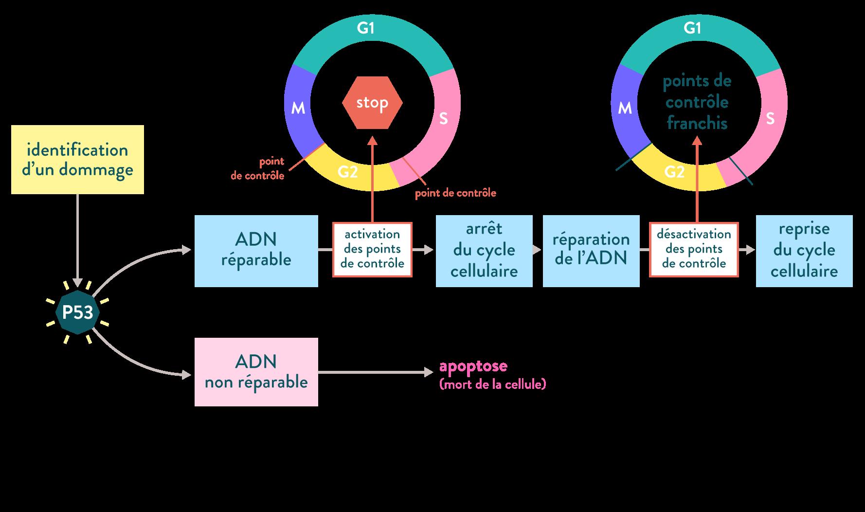 P53 apoptose cancer