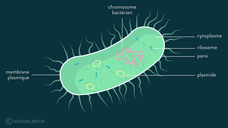 bactéries organites