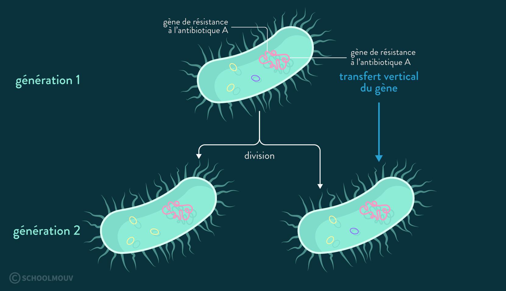 transfert vertical du gène de résistance à l'antibiotique