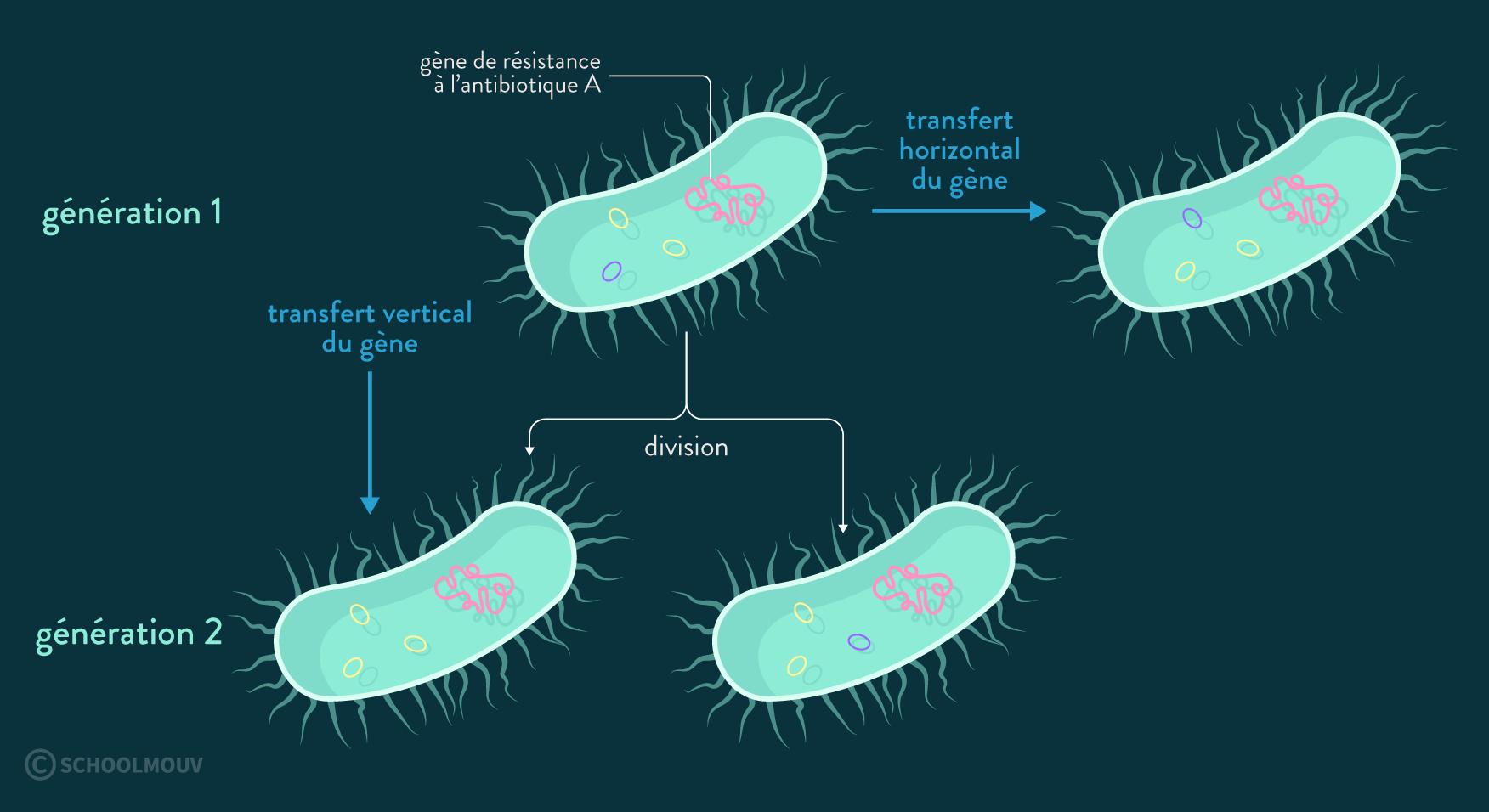 transfert horizontal entre bactéries de souches différentes et transfert vertical