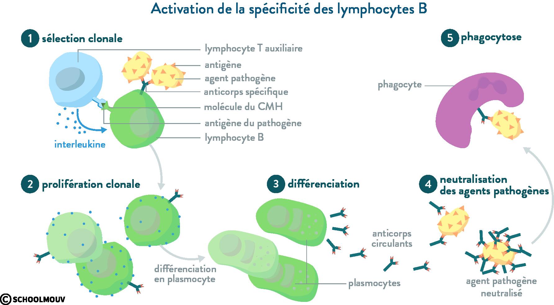 immunité acquise réponse immunitaire spécificité lymphocyte B