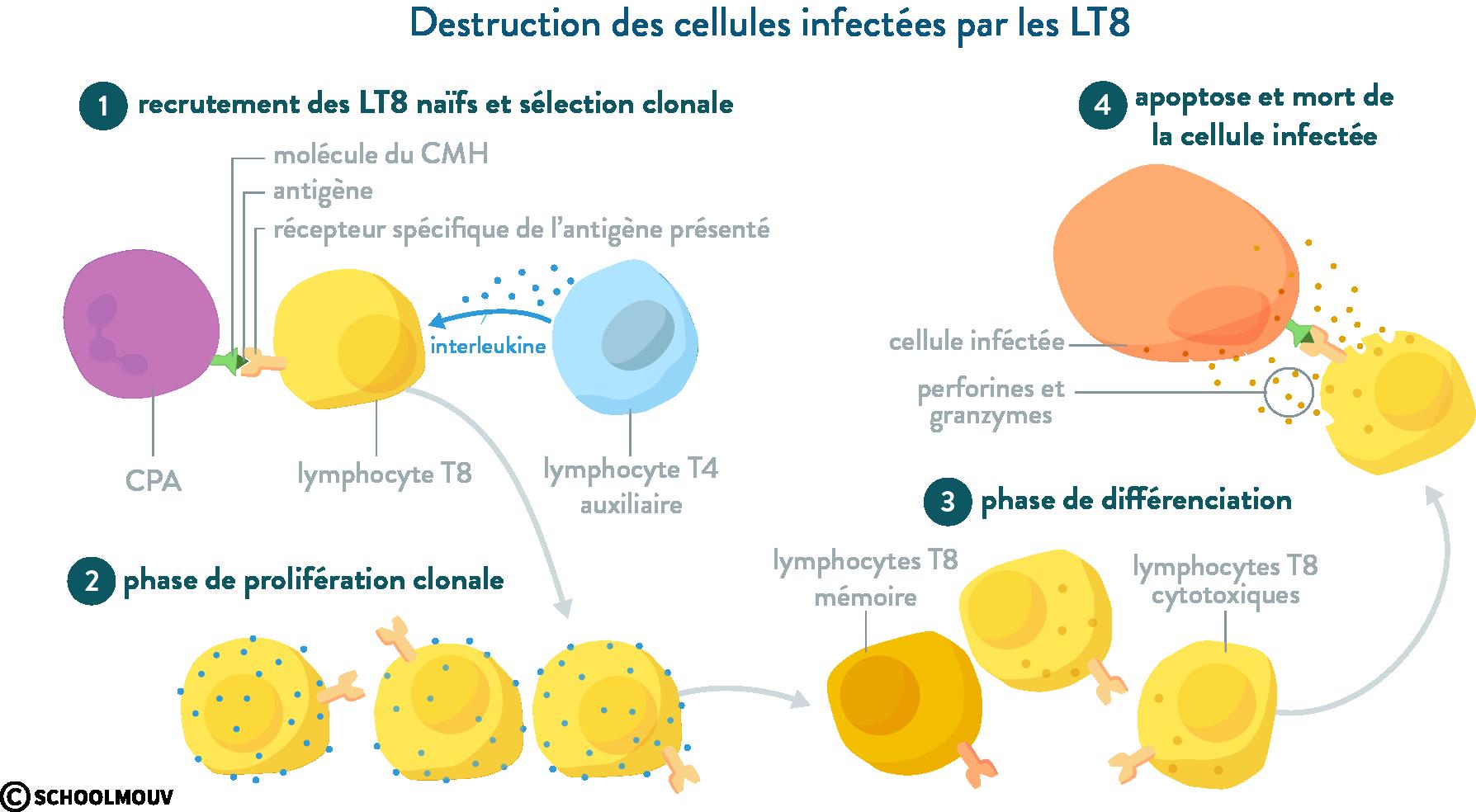 immunité acquise réponse immunitaire spécificité lymphocyte T