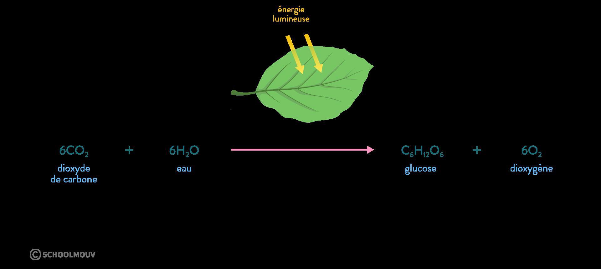photosynthèse métabolisme lumière