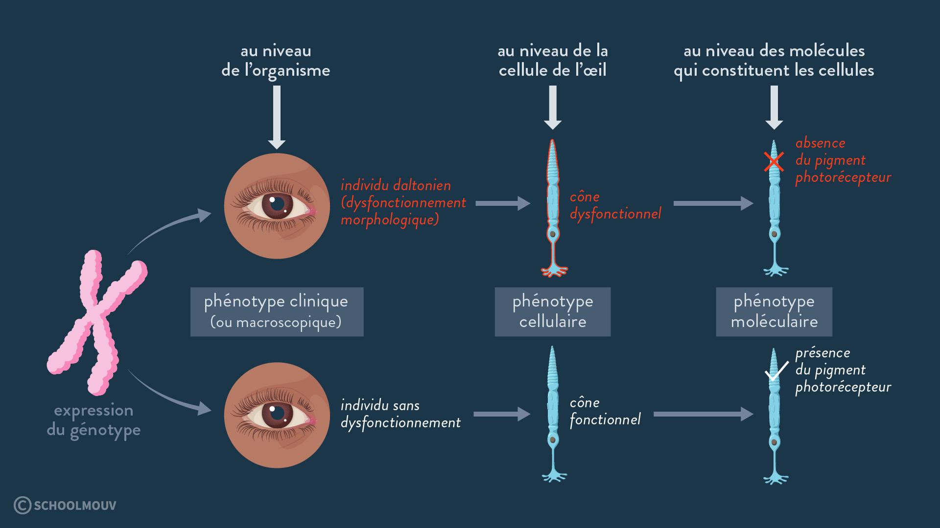 daltonisme daltonien phénotype clinique macroscopique cellulaire moléculaire
