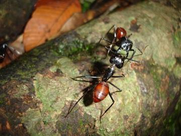 communication tactile fourmis signaux récepteurs cutanés antennes