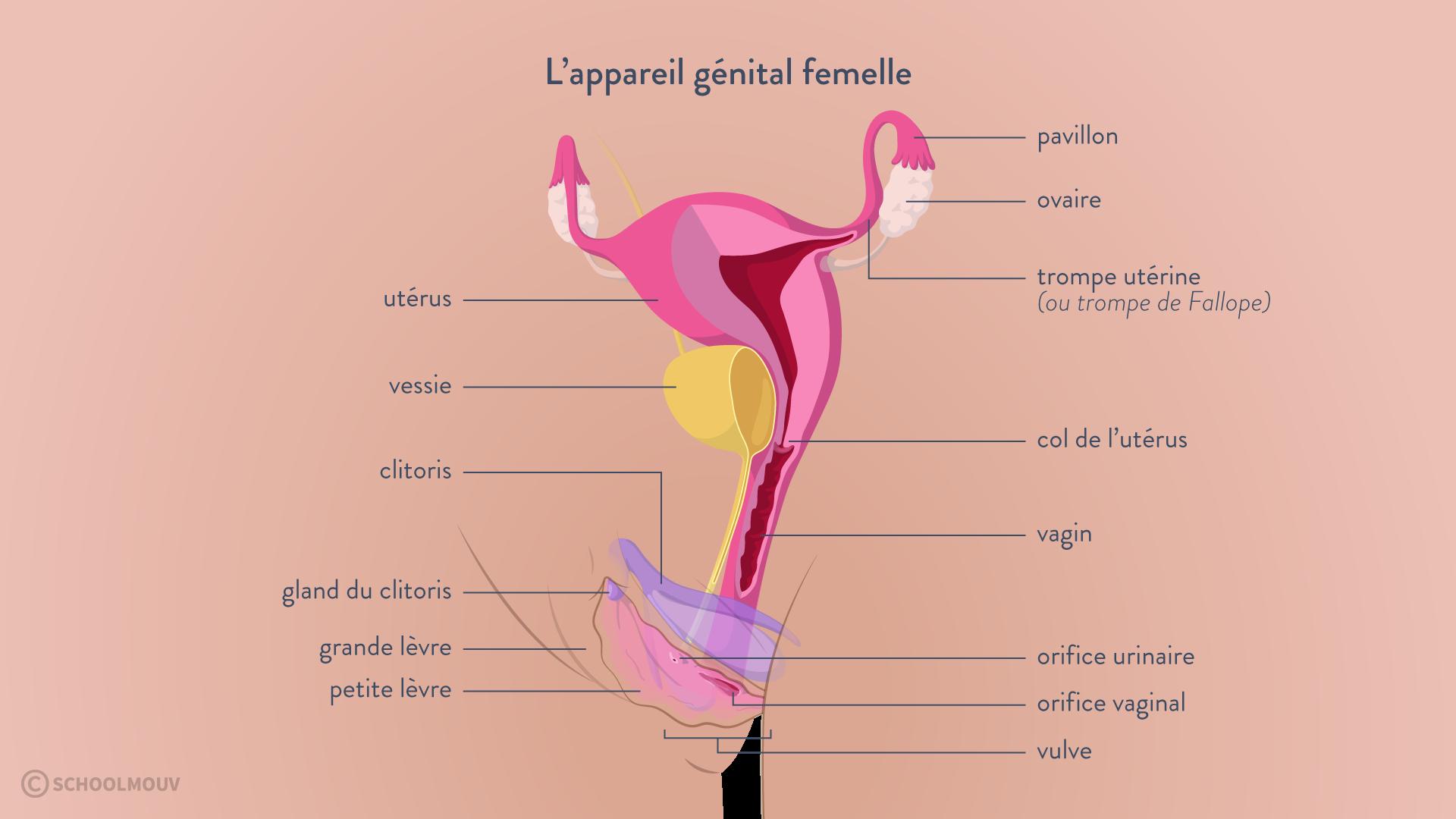 appareil génital femelle féminin