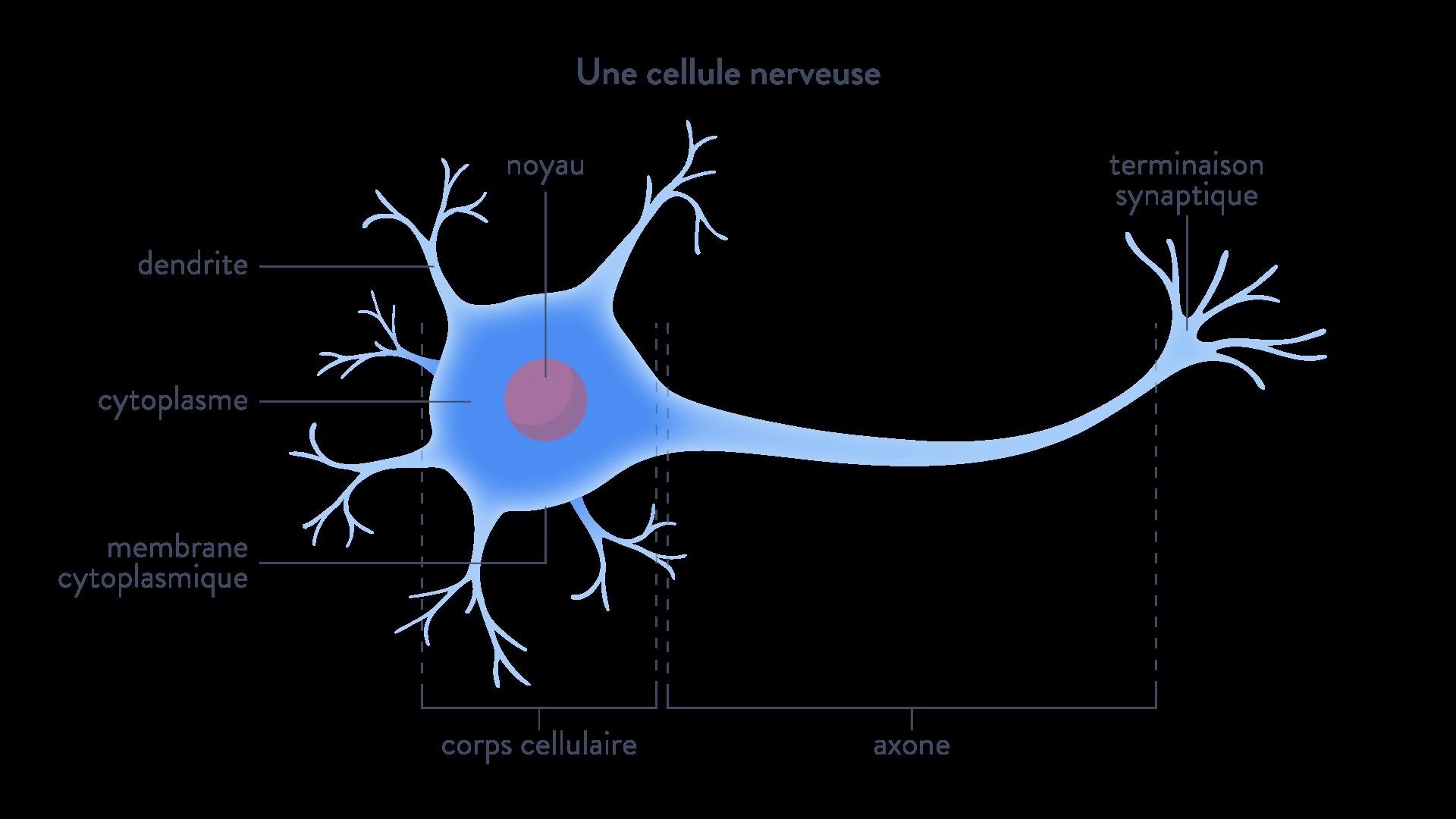 cellule nerveuse synapses dopamine