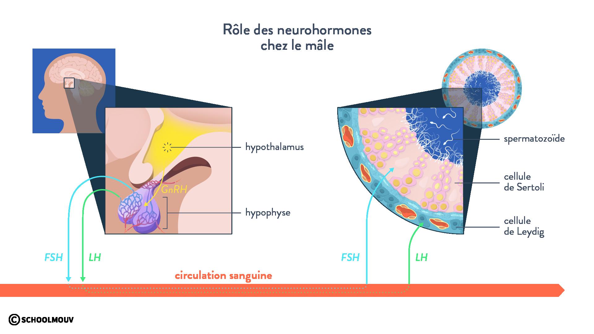 neurohormones FSH LH hypophyse hypothalamus