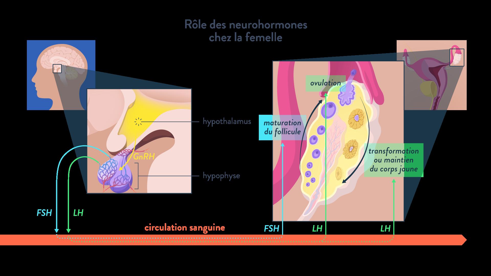 neurohormones FSH LH hypothalamus hypophyse