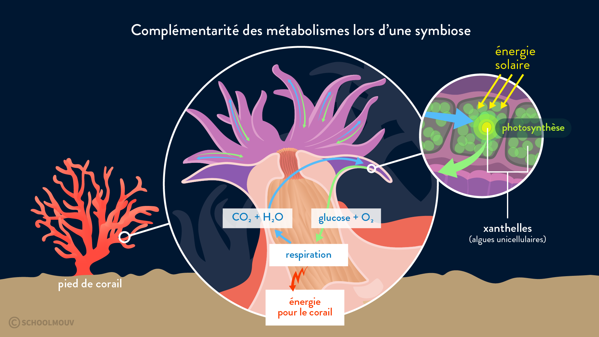 corail xanthelles symbiose photosynthèse respiration relation symbiotique