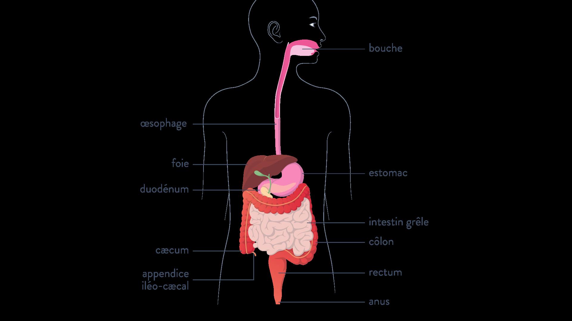 Schéma tube digestif humain