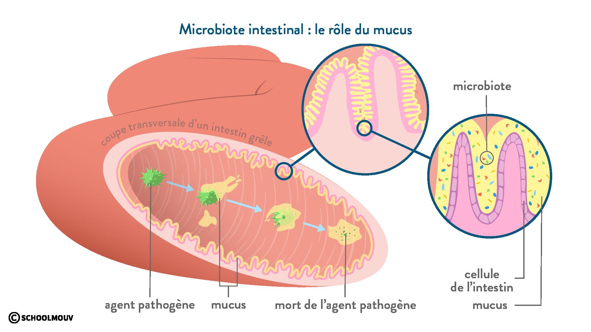 microbiote élimination pathogène mucus