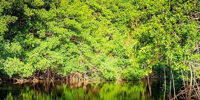 mangroves Guadeloupe Canal des Rotours
