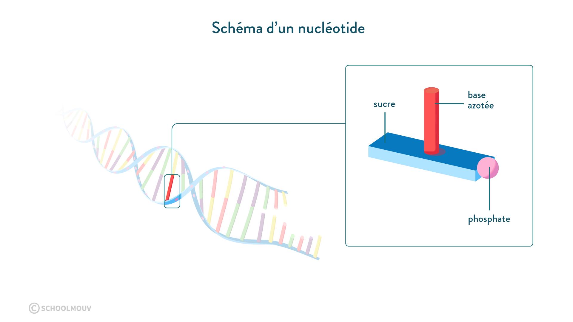 Schéma d'un nucléotide