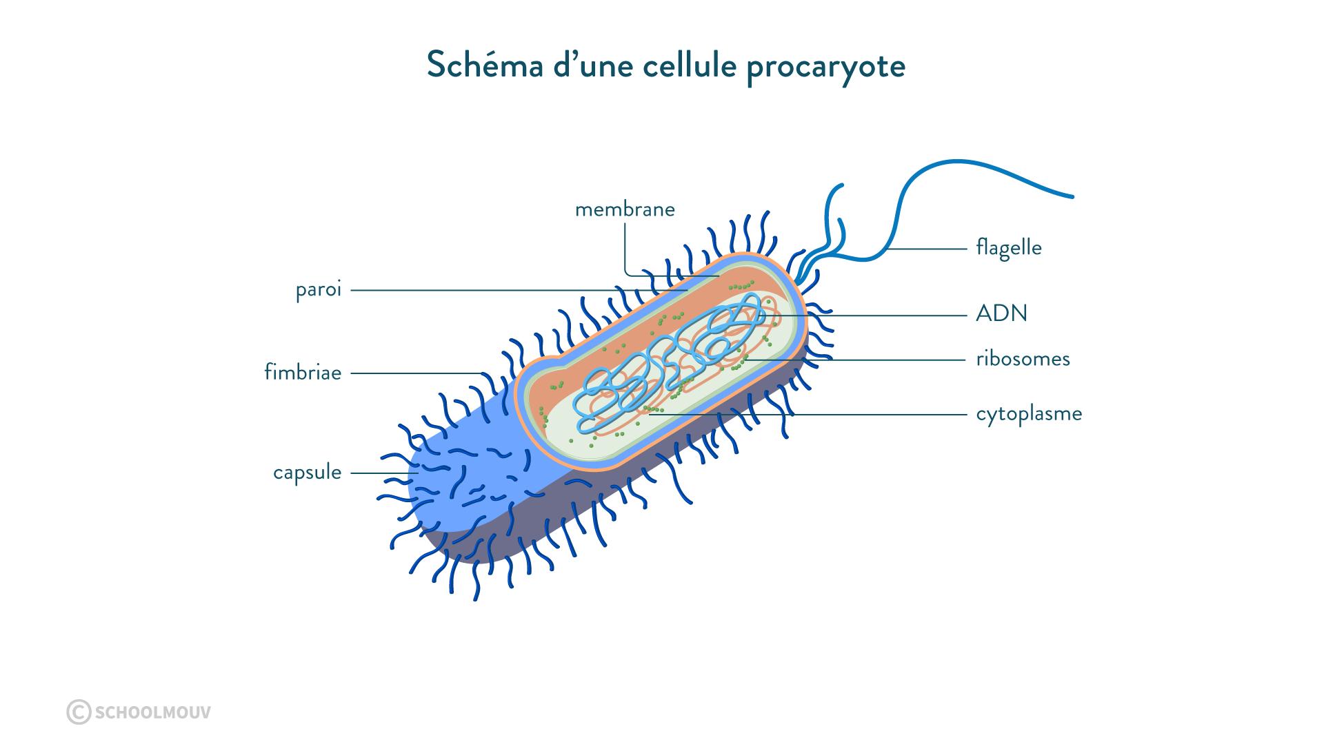 Schéma d'une cellule procaryote