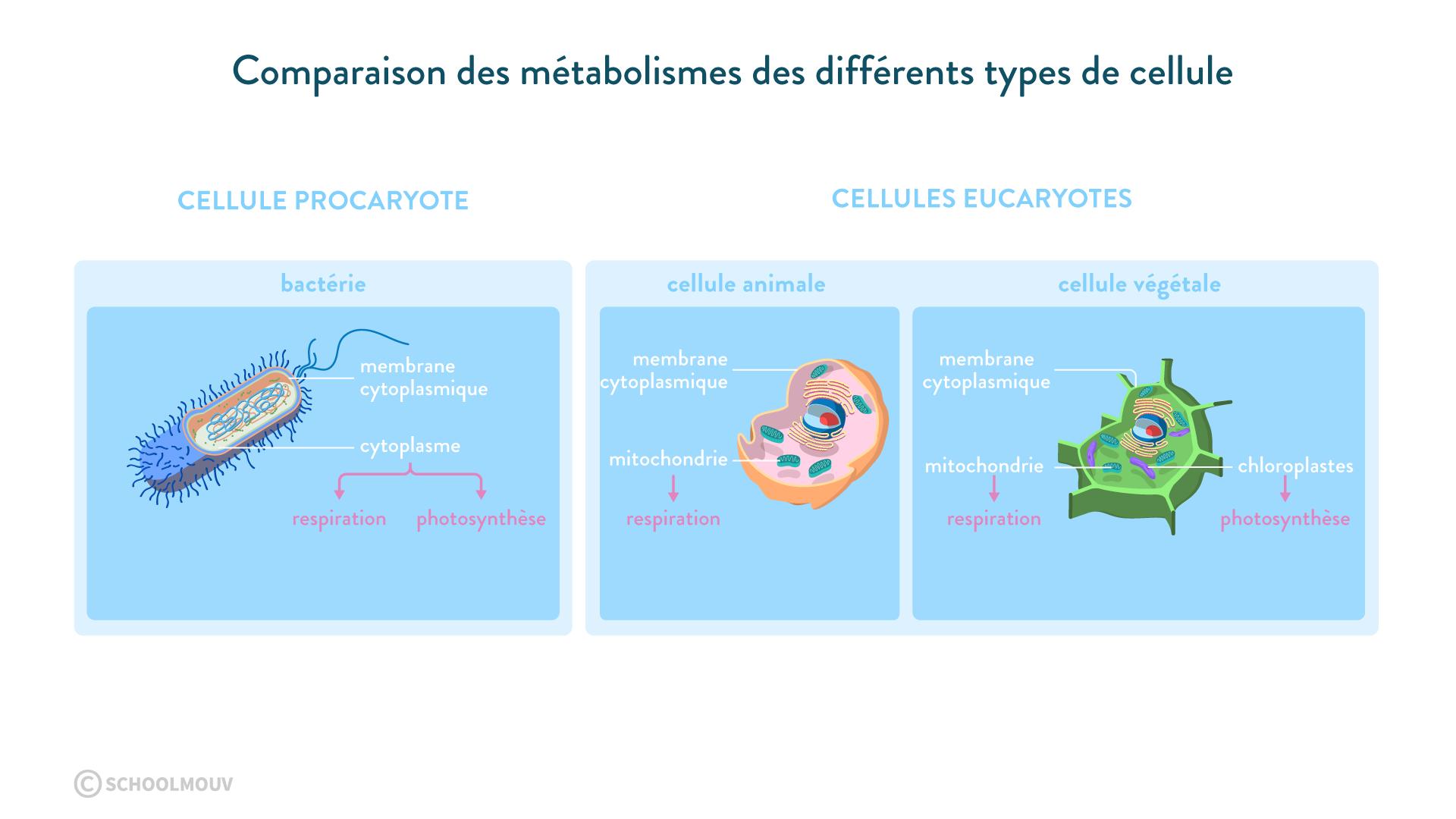 métabolismes cellulaires procaryote eucaryote