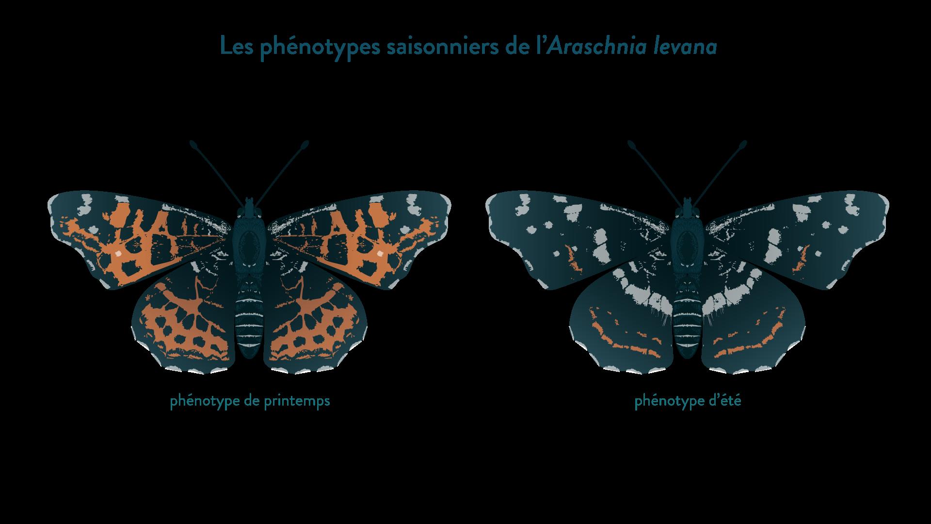 Les phénotypes saisonniers de l'Araschnia levana
