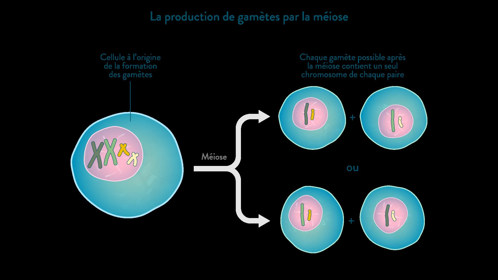 La production de gamètes par la méiose