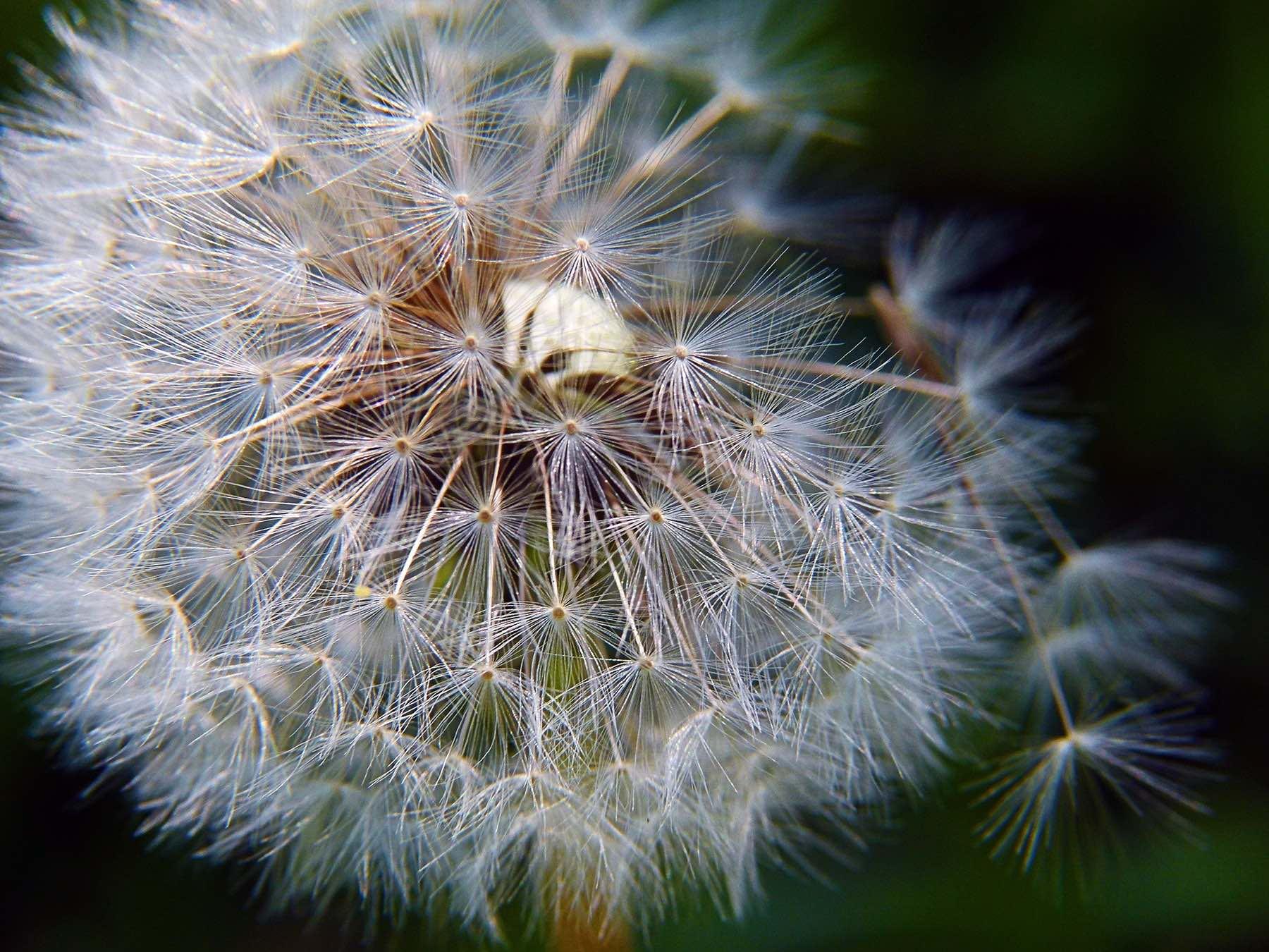pissenlit anémochorie disséminsation reproduction de la plante entre vie fixée et mobilité
