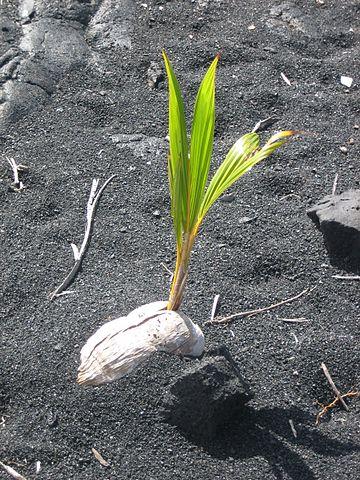 noix de coco hydrochorie disséminsation reproduction de la plante entre vie fixée et mobilité