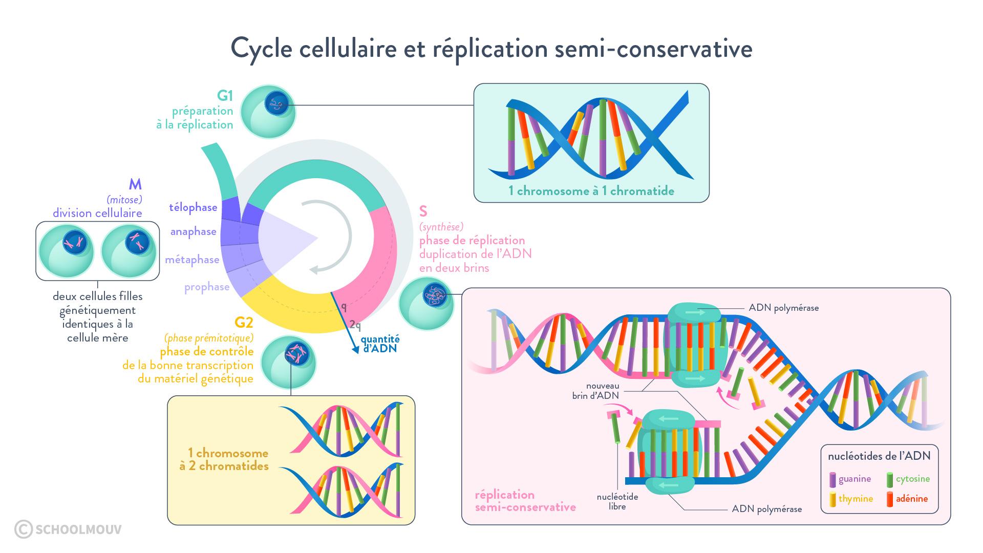 mitose cycle cellulaire réplication semi-conservative ADN polymérase