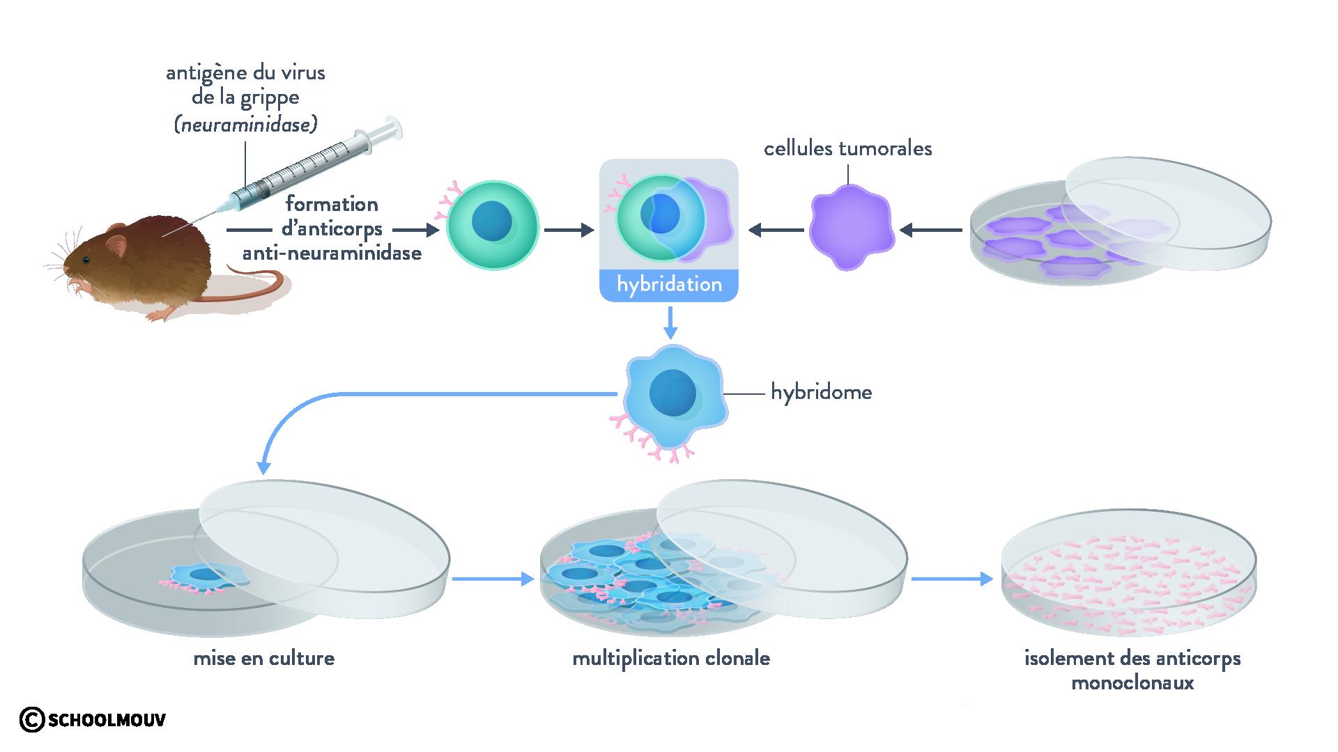 hybridome échange matériel génétique fusion cellule cancéreuse lymphocyte B anticorps monoclonaux