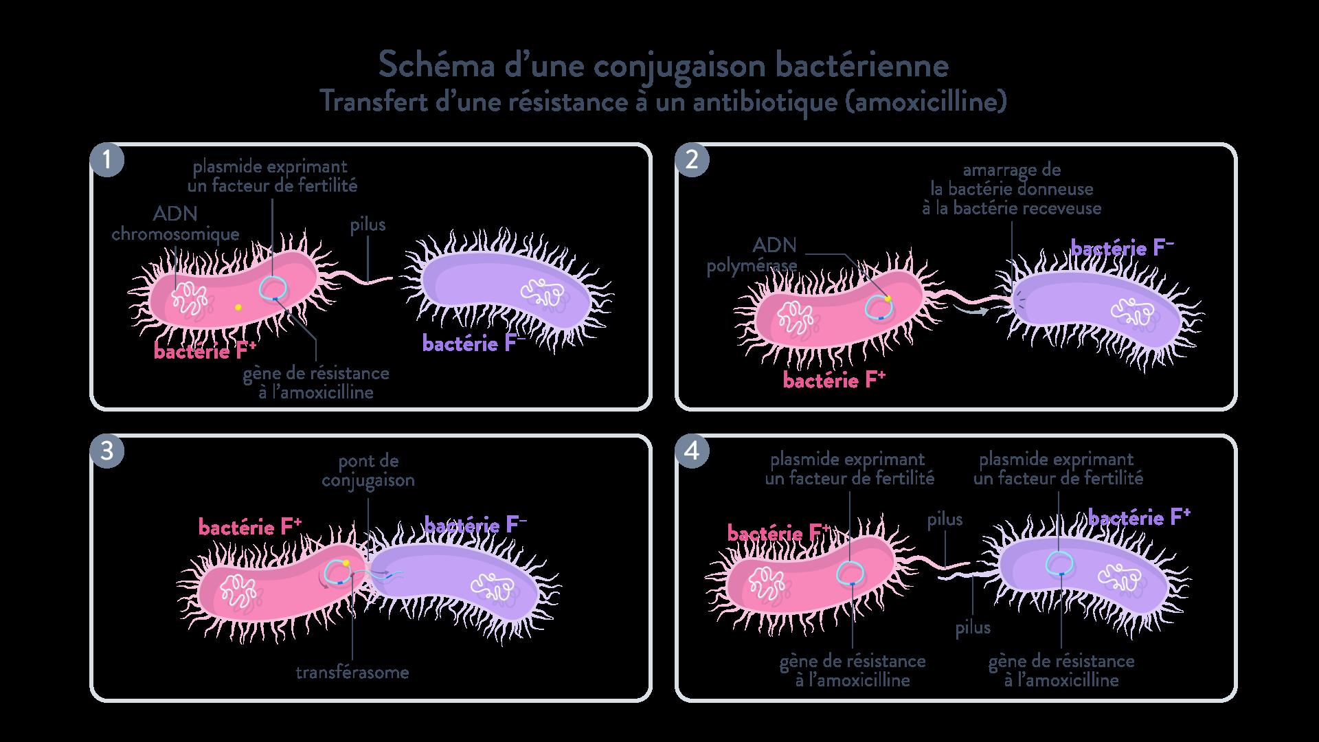 bactérie conjugaison bactérienne: transfert horizontal d'une résistance à un antibiotique (amoxicilline)
